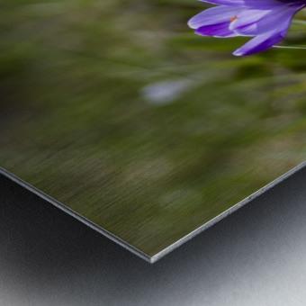 Crocus Metal print