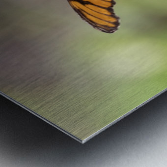 Julia heliconian butterfly Metal print