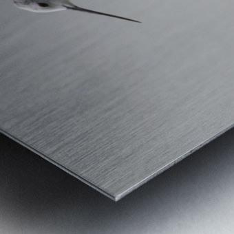 Black winged stilt Metal print
