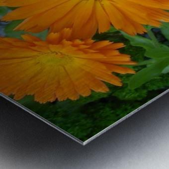 Orange Daisies & Bee Metal print
