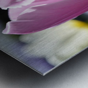 Purple Tulip Photograph Metal print