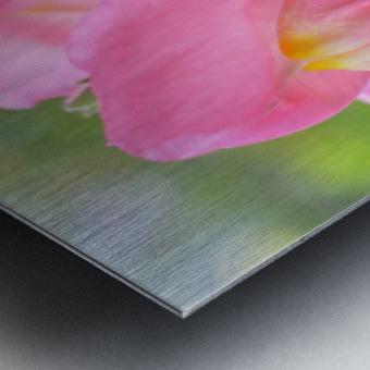 Pink Snapdragon Photograph  Metal print