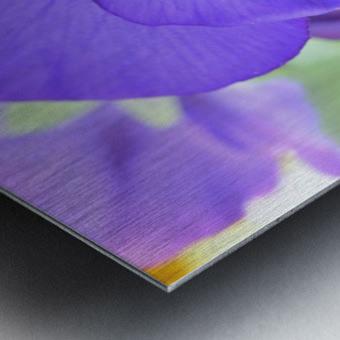 Blue Pansy Photograph Metal print