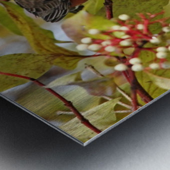 American Robin In Dogwood Metal print