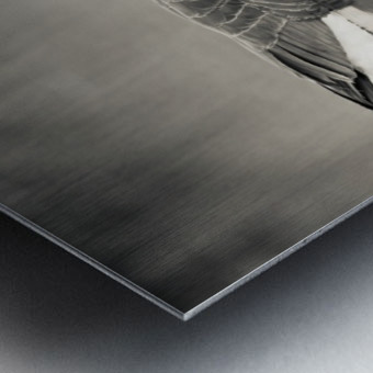 Canada Goose - 2 Metal print