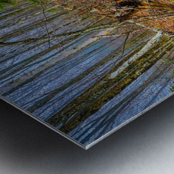 White Birch - APC-261 Metal print