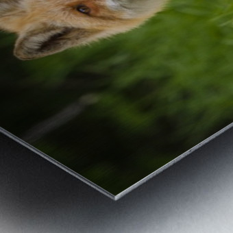 Red Fox Beauty Metal print
