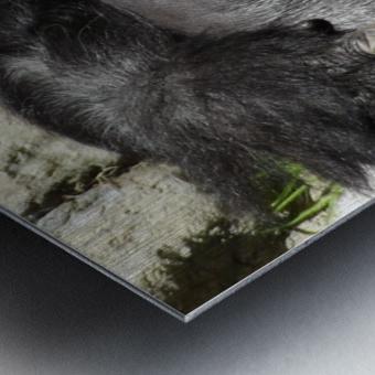 Gorilla Glare Metal print