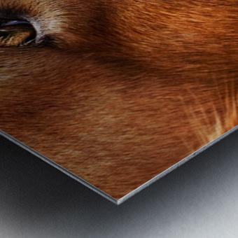 Cocker Spaniel Up Close Metal print