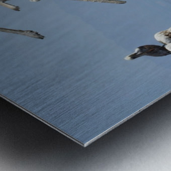Brown Pelicans Metal print