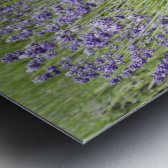 Lavender plants 7 Metal print