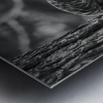 Black and white Barred Owl Metal print