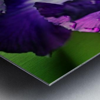 Purple With White Splash Iris Metal print