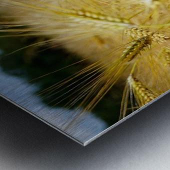 Corn Cob Landscape 06 Metal print