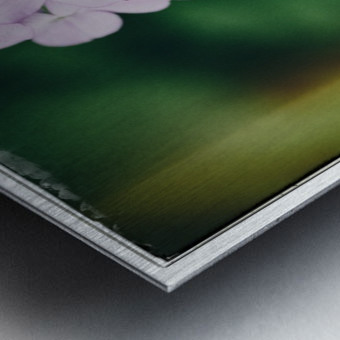 Phlox in Bloom Metal print