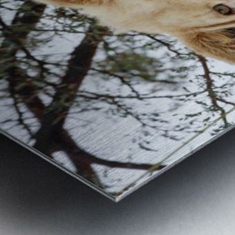 Young White Lion Male Metal print