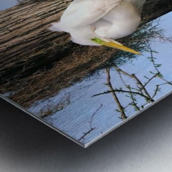 Mating Season - Great Egrets II Metal print