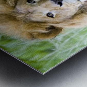 Simba Metal print