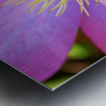 Purple Clematis Metal print