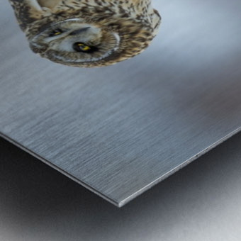 Short Eared Owl - Big Stretch Metal print