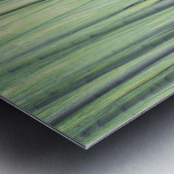 Aspen Trees in movement Metal print
