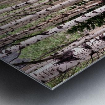 Aspens In Banff National Park at Muleshoe Metal print