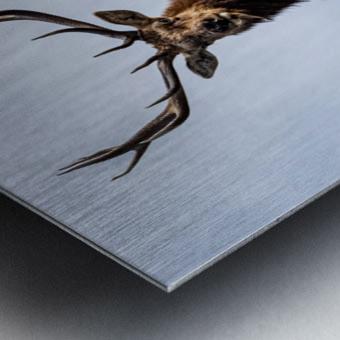 Tule Elk Metal print
