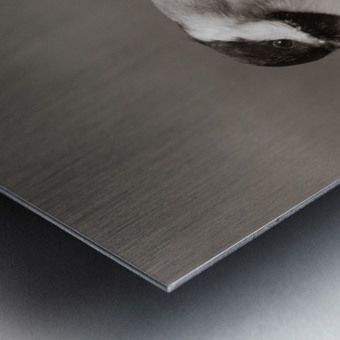 Black Capped Chickadee ap 1592 B&W Metal print