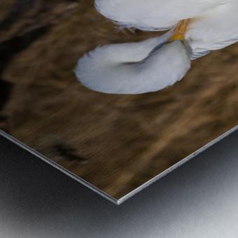 Great White Egret ap 2767 Metal print