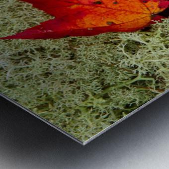 Maple Leaf ap 1555 Metal print