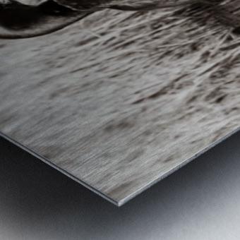 Mallard Pair ap 1775 B&W Metal print