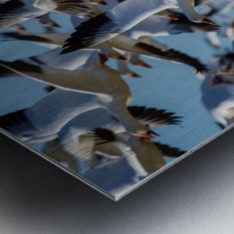 Snow Geese ap 1855 Metal print