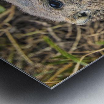 Alpine Marmot Metal print