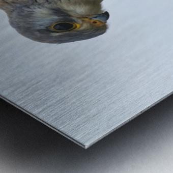 Kestrel Metal print