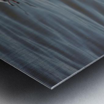 Ring-billed Gull Metal print