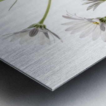 Cape Daisies Metal print