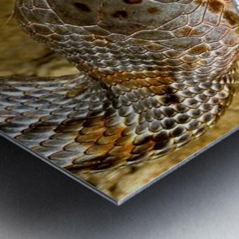 Baird's Rat Snake Tongue Flick Metal print