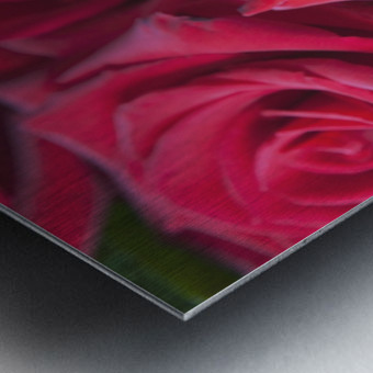Red Roses; Quebec, Canada Metal print