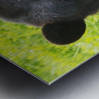 A black bear rolls around in the lush green grass Metal print
