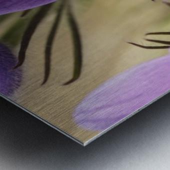 Crocus; Yukon, Canada Metal print