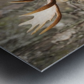 Bull moose (alces alces) in rutting season; Anchorage, Alaska, United States of America Metal print