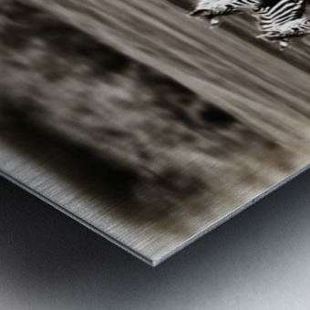 Running Zebras, Serengeti National Park, Tanzania, Africa Metal print