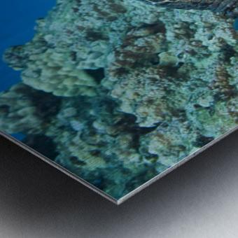 USA, Green Sea Turtle (Chelonia Mydas) Endangered Species And Butterfly Fish; Hawaii Islands Metal print