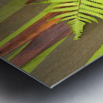 Metal Print Hawaii Maui Hana Fern And Rainbow Eucalyptus Tree