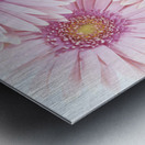 Close-Up Of Pink Daisies Set Together On White Background Studio Shot Metal print