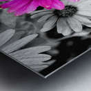 One Colored Daisy Metal print