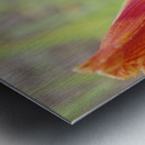 Peach Lilly Metal print