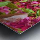 Ticonderoga Crab Apple Flowers in May Metal print
