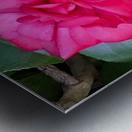 Japanese Camellia Metal print