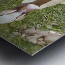 Buff Orpington Duck Metal print